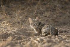 Chat de désert au parc national de désert près de Jaisalmer Image libre de droits