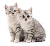 Chat de deux gris Photo libre de droits