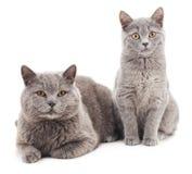 Chat de deux gris Photographie stock libre de droits