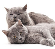 Chat de deux gris Image libre de droits