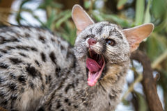 Chat de Genet Images libres de droits