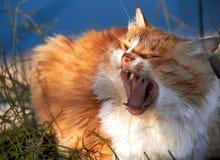 chat de gingembre baîllant sur un fond d'herbe image libre de droits