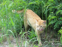Chat de gingembre dans l'herbe verte Image stock