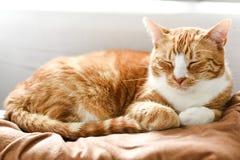 Chat de gingembre dormant sur le divan à la maison, un beau chat de maison Images stock