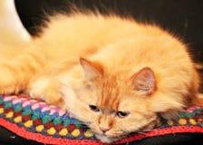 Chat de gingembre qui regarde vers le bas Chat rouge de tir moyen photos stock
