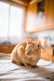 Chat de gingembre sur la table de la cuisine Photographie stock libre de droits
