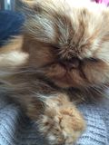 Chat de Ginger Persian Images libres de droits