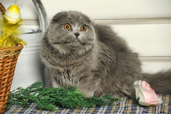 Chat de Gray Scottish Fold Photos libres de droits