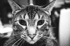 Chat de Hypno Photos stock