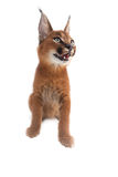 Chat de jeunes de Caracal Photos stock