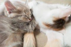 Chat de Kitty endormi sur la mère Photos libres de droits