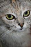 Chat de Kitty regardant l'appareil-photo Photos libres de droits