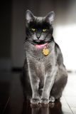 Chat de Korat Photo stock