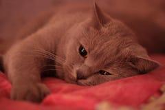 chat de la race britannique images libres de droits