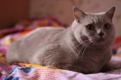 chat de la race britannique photo libre de droits