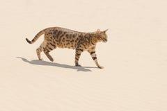 Chat de la savane dans le désert Photographie stock libre de droits