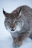 Chat de Lynx dans la scène neigeuse d'hiver, Norvège Photographie stock libre de droits
