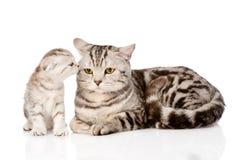 Chat de mère avec le chaton D'isolement sur le fond blanc Image libre de droits