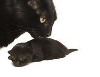 Chat de mère et chaton de chéri Photographie stock