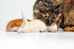 Chat de mère portant le chaton nouveau-né Photos libres de droits