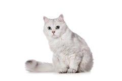 chat de Mélangé-race sur le blanc Photographie stock