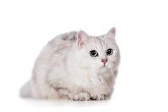 chat de Mélangé-race sur le blanc Images stock
