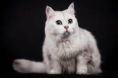 chat de Mélangé-race sur le noir Images libres de droits