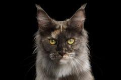Chat de Maine Coon sur le fond noir images libres de droits