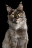 Chat de Maine Coon sur le fond noir photos stock