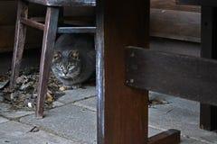 Chat de maison pelucheux gris Photos libres de droits