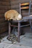 Chat de maison pelucheux gris Photographie stock
