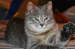 Chat de maison pelucheux gris Image libre de droits