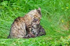 Chat de maman avec le petit chaton Photos libres de droits