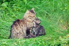 Chat de maman avec le petit chaton Photos stock