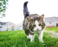 Chat de marche Animal familier sur la rue Minou pelucheux, bel animal, nature merveilleuse Yeux verts du ` s de chat Photos libres de droits