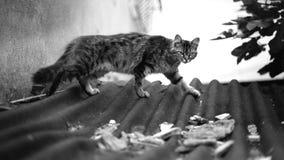Chat de marche sur le toit image libre de droits