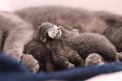 Chat de mère allaitant ses bébés Photos libres de droits