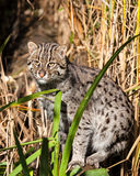 Chat de pêche restant dans la longue herbe Images stock