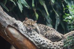 Chat de p?che se trouvant sur l'arbre de branche dans la jungle photographie stock