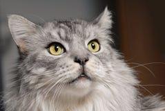 Chat de pedigree de Maine-Ragondin Photographie stock libre de droits