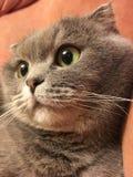 Chat de pli d'écossais avec de grands yeux oranges Images stock
