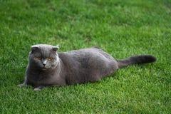 Chat de pli d'écossais sur l'herbe verte image stock