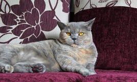 Chat de pure race de luxe sur le sofa Photo libre de droits