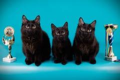 Chat de queue écourtée de Kurilian sur les milieux colorés Photographie stock libre de droits