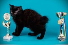 Chat de queue écourtée de Kurilian sur les milieux colorés Photographie stock