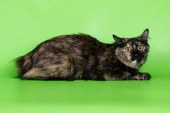 Chat de queue écourtée de Kurilian sur les milieux colorés Photos stock