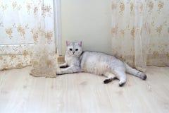 Chat de race immaculé écossais blanc se trouvant sur le plancher dans la chambre Photo stock