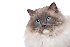 Chat de Ragdoll Photo stock