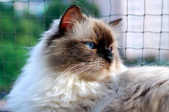 Chat de Ragdoll Photos libres de droits