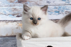 Chat de Ragdoll Photos stock